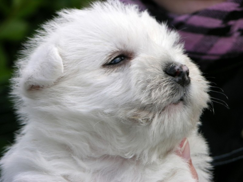 "- West Highland White Terrier ""vom Rewitzhof"""